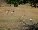 Jabiru, Wood Storks