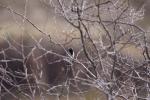Black-throated Sparrow (1)