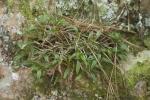 Green Flight Orchid