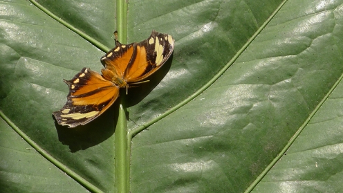 One of the inhabitants of the butterfly room at the Museo Nacional, San Jose