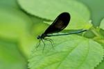 calopteryx_maculata