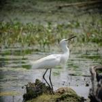 egretta_thula