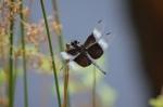 libellula_luctuosa