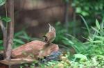 thryothorus_ludovicianus